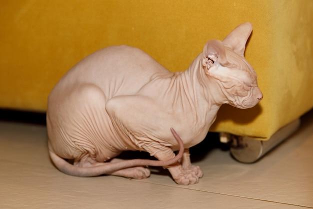 Gato esfinge sem pêlo sentado em casa no chão