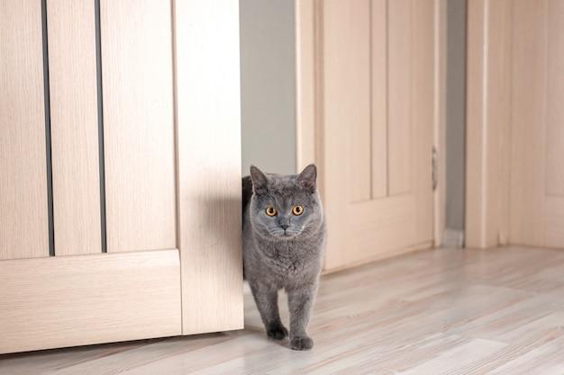 Gato espreita ao virar da esquina, lindo gato britânico cinzento com olhos amarelos, gato gordo engraçado, gato olha por trás da porta