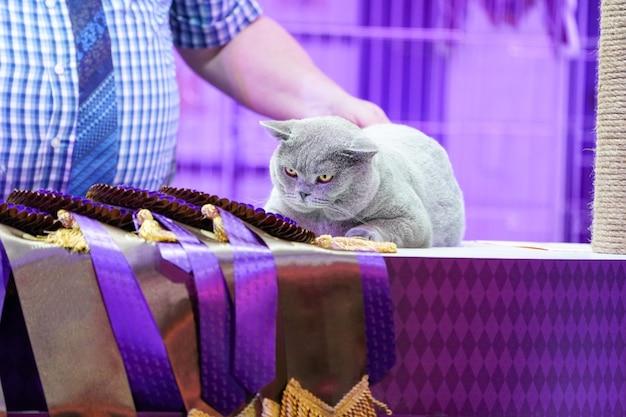 Gato fat thai korat com pelo cinza e olhos amarelos, com etiqueta de fita vencedora.