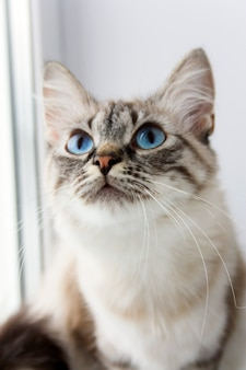 Gato fofo bonito com sititng de olhos azuis em um retrato de peitoril de janela
