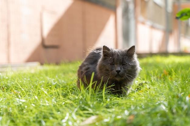 Gato fofo cinza sem teto está sentado na grama perto da parede da casa