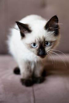 Gato fofo com olhos azuis no sofá