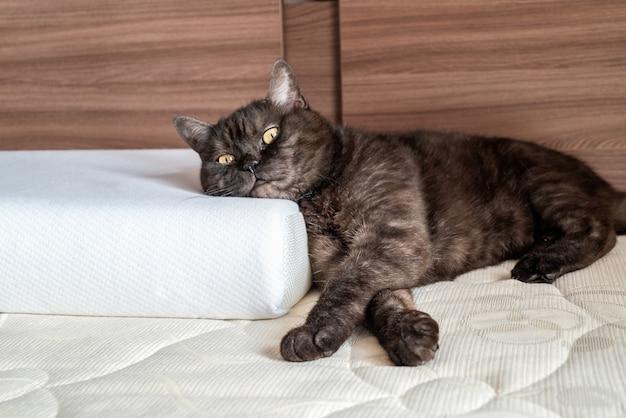 Gato fofo deitado na cama com a cabeça no travesseiro ortopédico