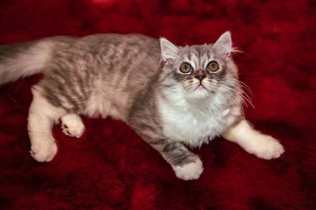 Gato fofo do scottish fold deitado no tapete de veludo vermelho e olhando para o teto