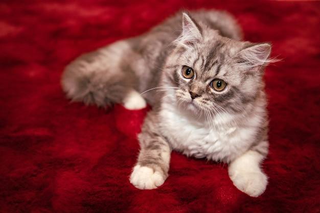 Gato fofo scottish fold deitado no tapete de veludo vermelho e olhando para a câmera