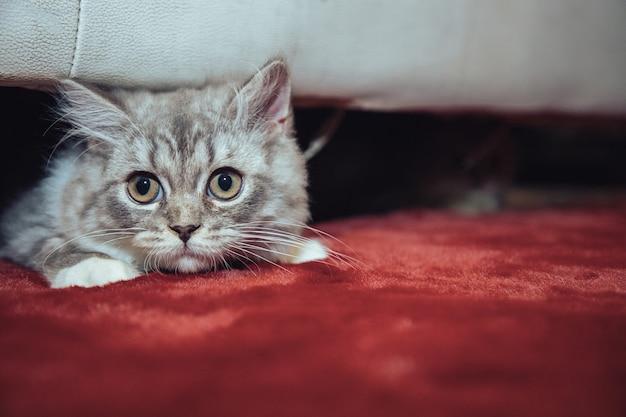 Gato fofo scottish fold escondido debaixo do sofá, deitado no tapete de veludo vermelho e olhando para um corpo estranho