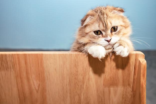 Gato fofo scottish fold marrom escondido atrás de uma parede de madeira perto de uma parede de concreto e olhando para a câmera