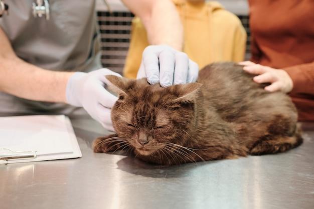 Gato fofo sentado na mesa enquanto veterinários o examinam na clínica