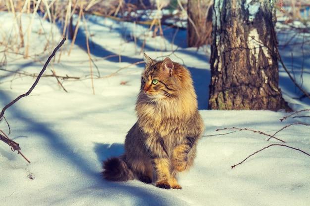 Gato fofo siberiano caminhando na floresta de neve