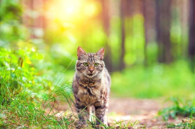 Gato fofo siberiano caminhando na floresta