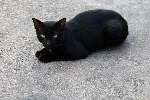 Gato, gato preto doentio feio