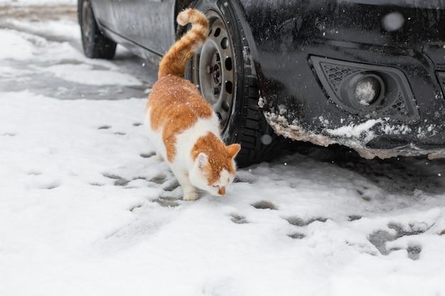 Gato gordo branco-vermelho caminha na neve no quintal perto do carro