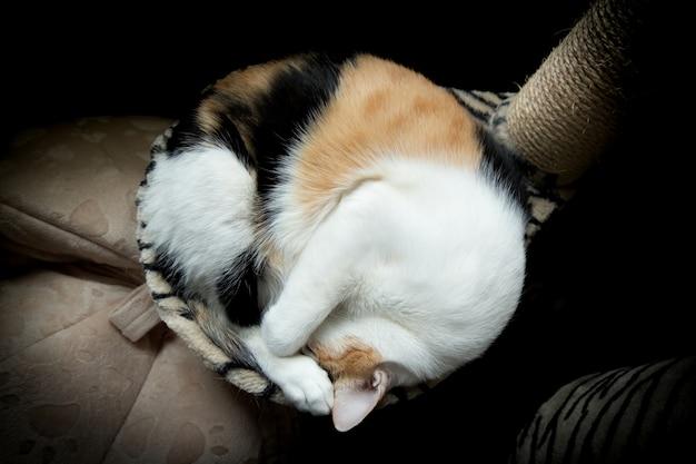 Gato gordo enrolado em uma bola no sofá na árvore do gato.