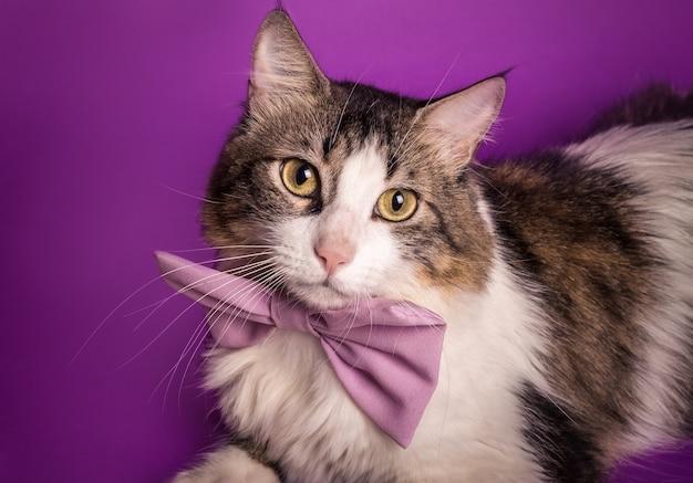 Gato grande com gravata borboleta roxa