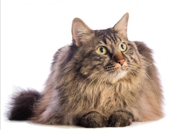 Gato grande norvegian, felino com cabelos compridos