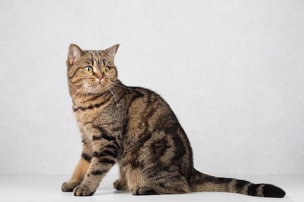 Gato hetero escocês em um fundo sólido