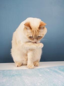 Gato insolente ruivo branco lambe os lábios, sentado sobre uma mesa sobre um fundo azul.