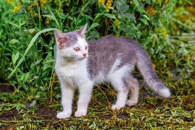 Gato jovem com pêlo branco e cinza no jardim na grama cortada