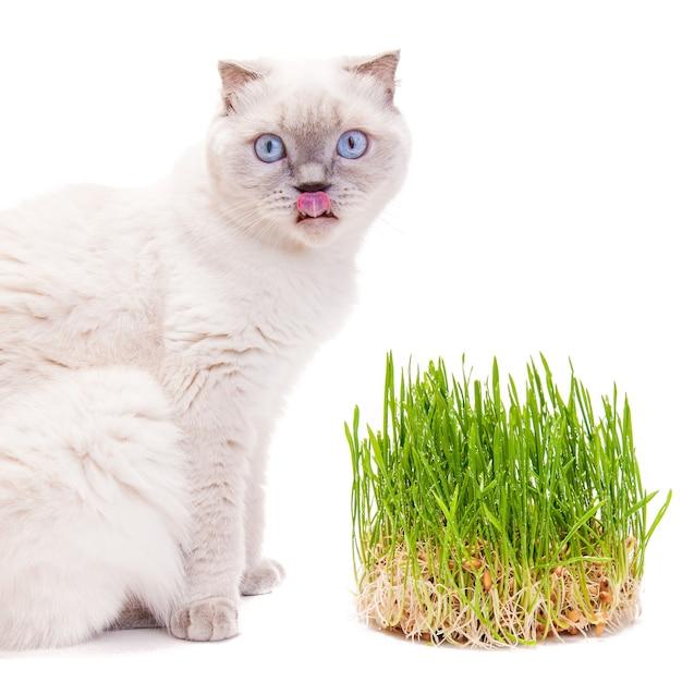 Gato lambendo os lábios depois de comer broto de grama, vitaminas, isolado em um branco