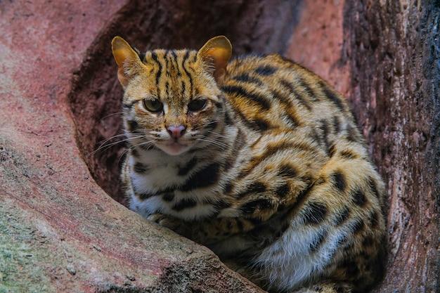 Gato-leopardo (prionailurus bengalensis), olhando para uma rocha com luz de cima.
