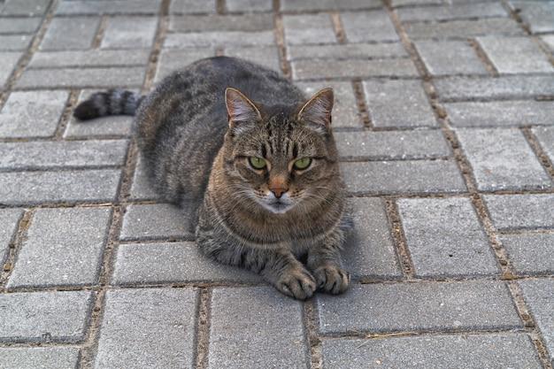 Gato lindo de cabelo curto deitado no chão ao ar livre.