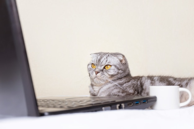 Gato listrado preto e cinza scottish fold com olhos amarelos olha para um monitor de laptop enquanto estava deitado em um sofá.