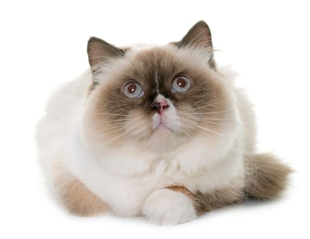 Gato longhair inglês