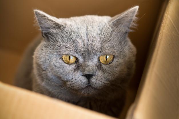 Gato macho cinza de cabelo curto britânico sentado em uma caixa de papelão