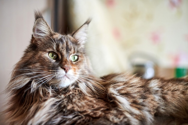 Gato maine coon, close-up