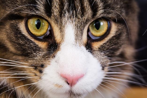 Gato maine coon. olhos de gato. fechar-se
