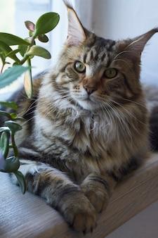 Gato maine coon senta-se no peitoril da janela contra a parede de tijolos brancos