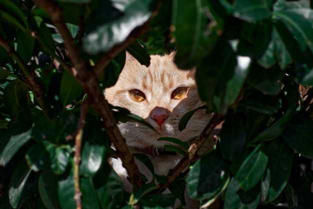 Gato malhado com grandes olhos amarelos brilhantes se esconde atrás de galhos verdes e olha atentamente para a câmera