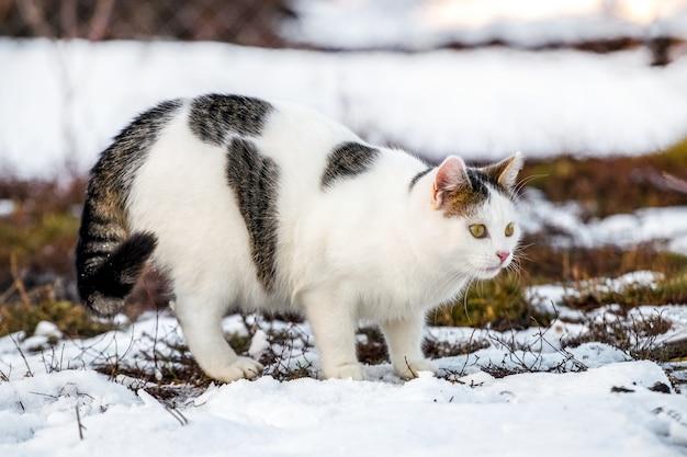 Gato malhado de branco no inverno na neve