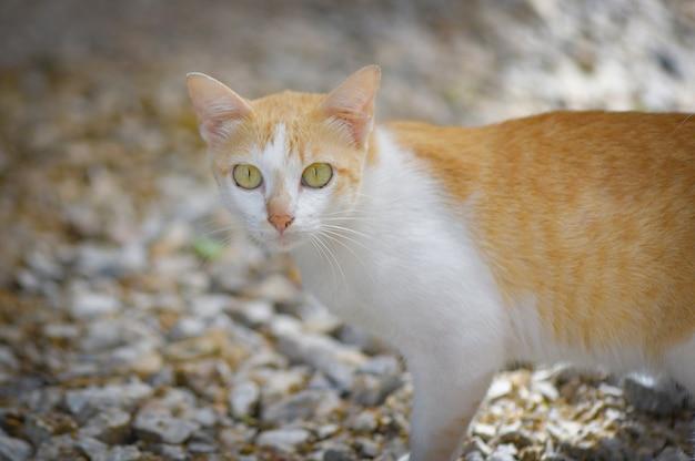 Gato malhado de gato malhado branco e laranja