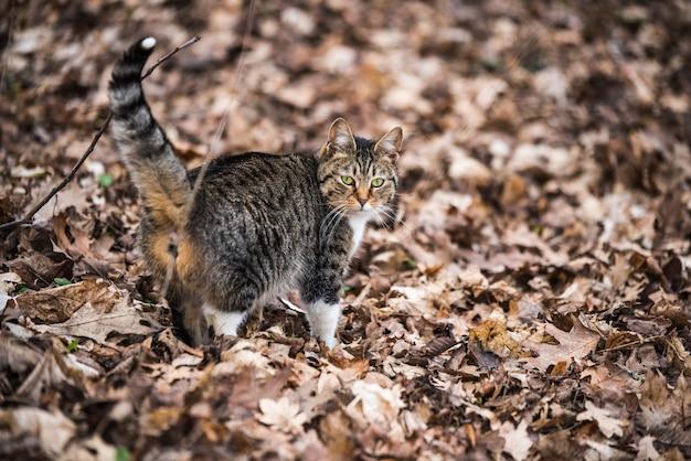 Gato malhado de março de primavera caminhando sobre folhas secas