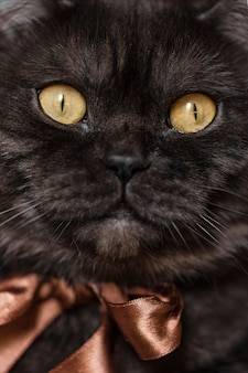 Gato malhado escocês preto reto com olhos amarelos, usando laço marrom no pescoço