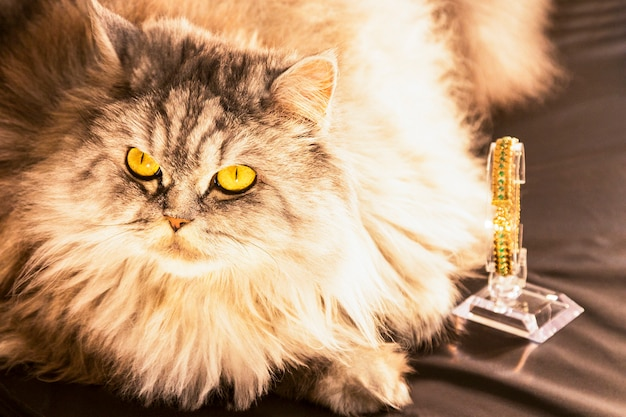 Gato malhado malhado prateado preto com pêlo comprido branco escocês de orelhas retas. deitado e olhando para cima, com olhos dourados, ao lado de uma pulseira de ouro, sobre fundo escuro