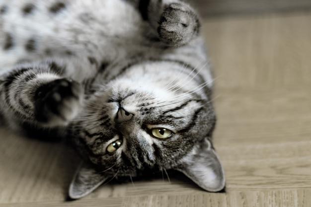 Gato malhado prateado, deitado no chão dentro do quarto