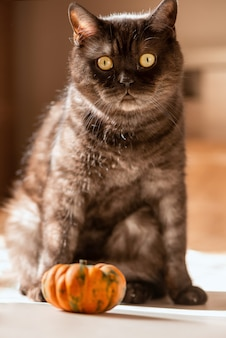 Gato malhado preto engraçado brincando com uma pequena abóbora laranja