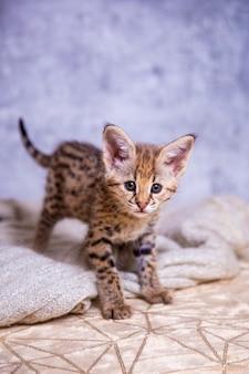 Gato malhado savannah f1