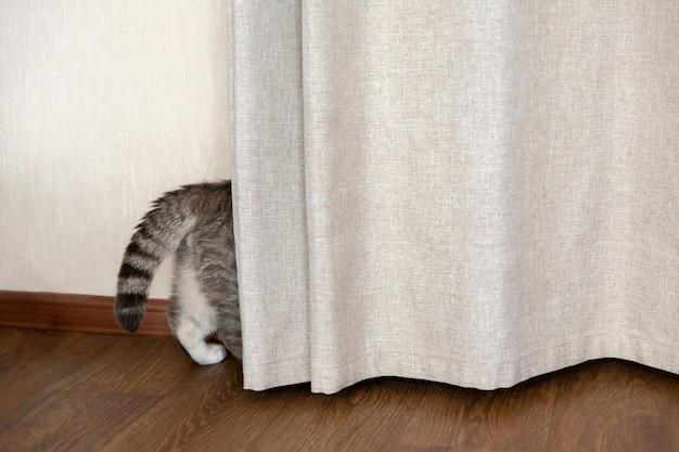 Gato malhado se esconde atrás da cortina cauda e patas traseiras se projetam por trás da cortina