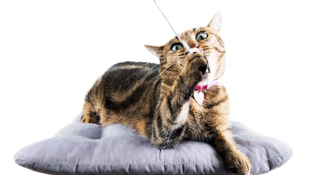 Gato maluco de bengala mastiga um rato de brinquedo deitado sobre um travesseiro macio.