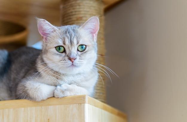 Gato marrom bonito dobra escocesa sentado na madeira