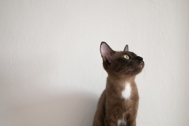 Gato marrom chocolate está olhando copyspace