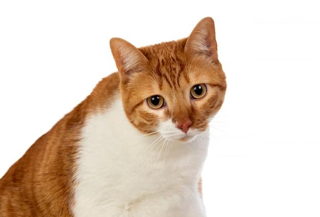 Gato marrom e branco adulto