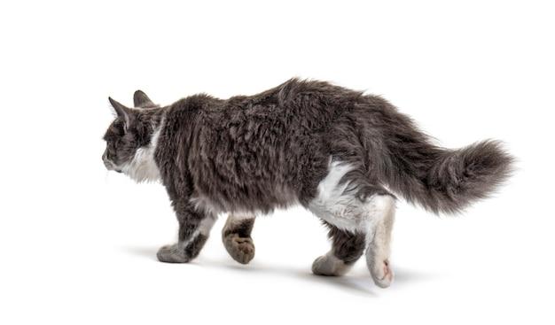 Gato mestiço cinza e branco indo embora