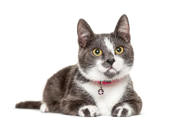 Gato mestiço com um sino, isolado no branco