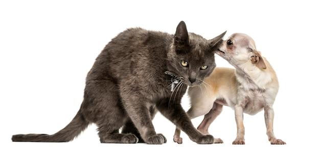 Gato mestiço e chihuahua brincando juntos