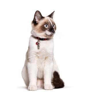 Gato mestiço usando um tubo de colar cápsula para identificação e um sino