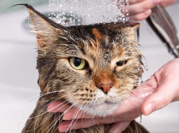 Gato molhado no banho